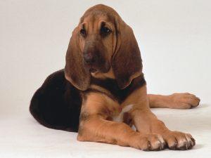 Bloodhound-hound-dogs-15363678-1600-1200