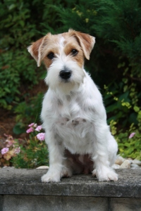 Rough_coat_Jack_Russell_terrier